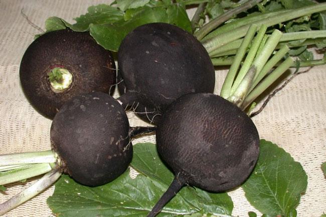 Редька – уникальный корнеплод